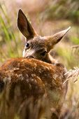 picture of blacktail  - Blacktail Fawn Deer 