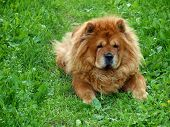 Brown Chow Chow Dog Dina In The Green Grass poster