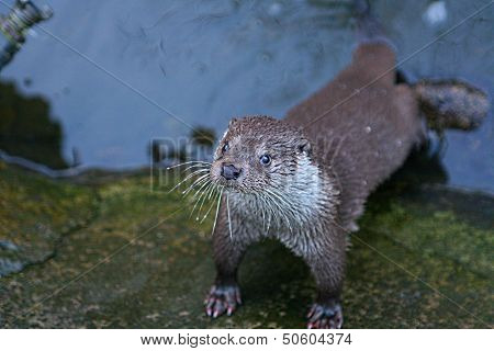 Wild otter in the river