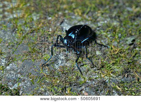 Beetle (meloe Sp. Violatus)