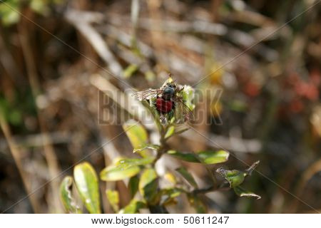 Bee With Red Abdomen