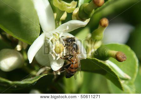 Honey Bee Pollinating Orange Blossom