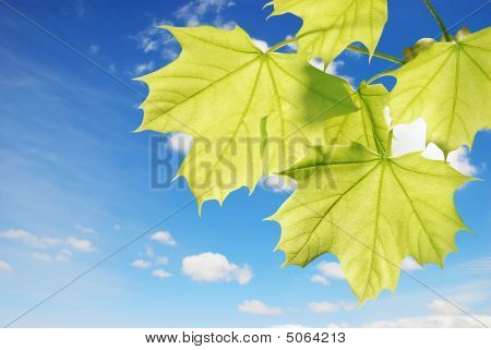 Closeup Of Backlite Maple Leaves