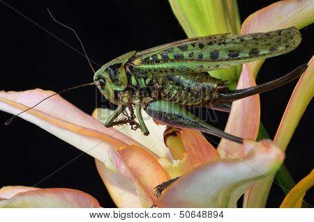 large locust