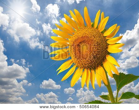 Sunflower Field Against Blue Sky And Sun Light