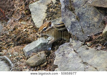 Chipmunk Peeps From Behind The Rocks