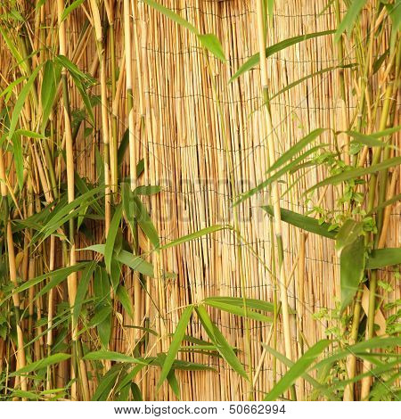 Fresh Ornamental Bamboo With A Bamboo Fence