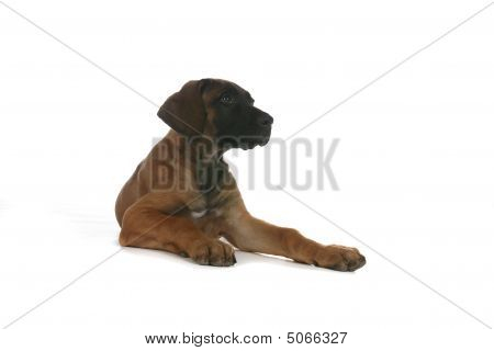 Rhodesian Ridgeback Puppy Sitting On High Key Background