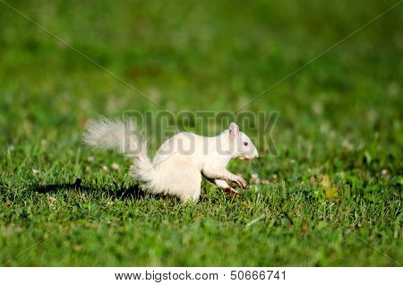 White Squirrel Jumping