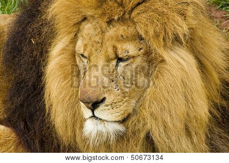Lion Big Cat