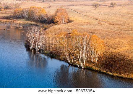 Waterside Birch Trees In Autumn