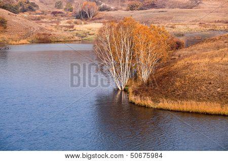 Birch Trees At Waterside In Autumn