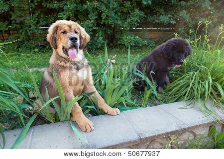 Two Tibetan Mastiff Puppy Outdoors