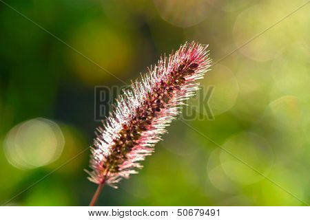 Tender Sparkle Spikelet