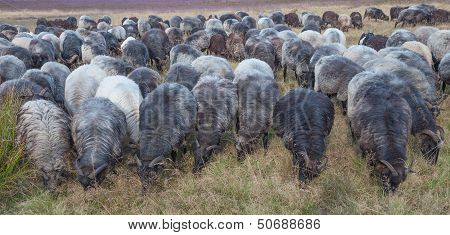Moorland Sheep Herd,Lueneburg Heath,Germany