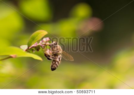 Honey Bee On A Beautiful Flower