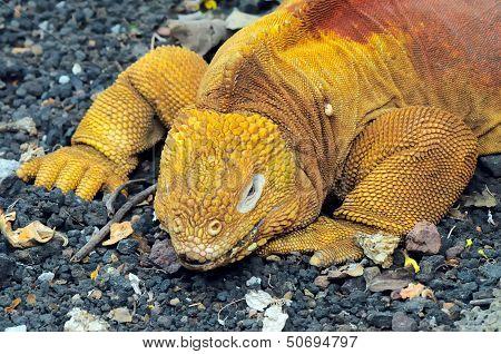 Red Dragon. Land Iguana. Conolophus Subcristatus