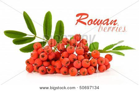 Rowan Berries Over White