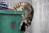 stock photo of dumpster  - raccoon climbing out of a trash dumpster - JPG