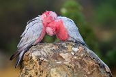 foto of cockatoos  - The Galah also known as the Rose - JPG