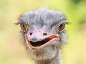 image of ostrich plumage  - Gray Ostrich Bird Close Up Portrait Details