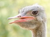 stock photo of ostrich plumage  - Gray Ostrich Bird Close Up Portrait Details - JPG