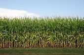 stock photo of corn stalk  - Cornfield and corn stalks shortly before maturity and harvest in an Illinois field - JPG