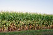 image of corn stalk  - Cornfield and corn stalks shortly before maturity and harvest in an Illinois field - JPG