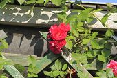 picture of climbing roses  - Flowering climbing rose  - JPG