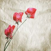 picture of sweetpea  - Pink sweet pea flowers  - JPG