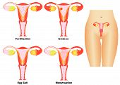 stock photo of vagina  - Female Reproductive System - JPG
