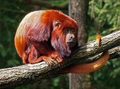 picture of monkeys  - Howler monkeys are among the largest of the New World monkeys - JPG