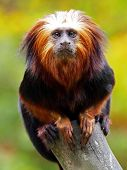 stock photo of endangered species  - The four species of lion tamarins make up the genus Leontopithecus - JPG