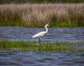 stock photo of water bird  - Bird wading in water at Assateague National Park - JPG