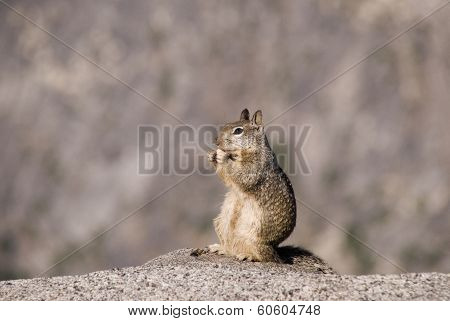 California Ground Squirrel Stand-up And Eating A Peanut