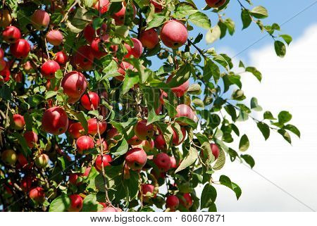 Juicy Colorful Apples On The Tree