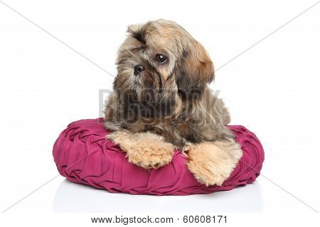 Shih-tzu Puppy Lying On Pillow