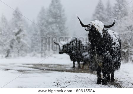 Brave yak