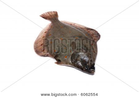 Flounder Plaice