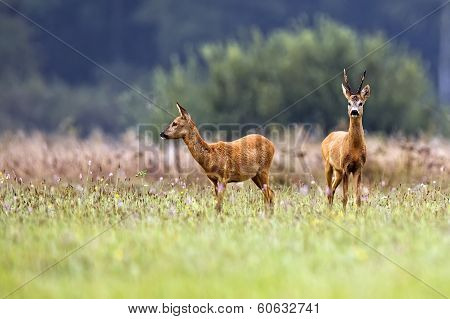 Buck deer with roe-deer in a clearing