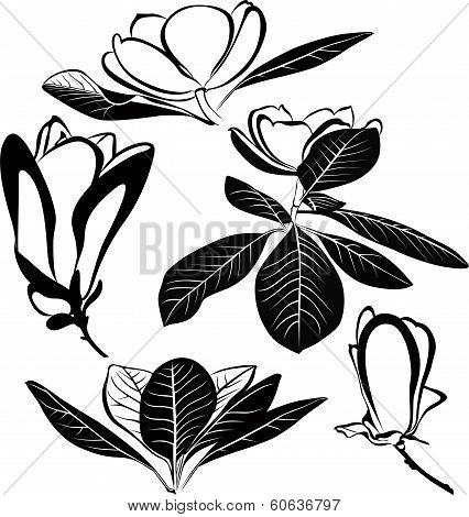 magnolia flowers isolated