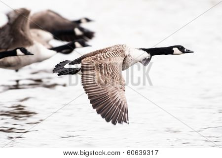 Canada Goose Flying Over Water
