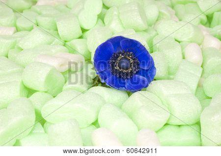 Blue Windflower In Green Isolation Foam