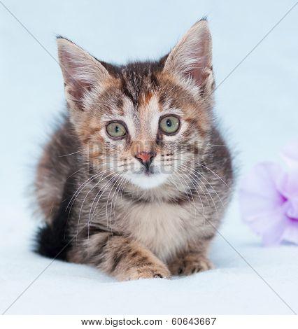 Beautiful Tricolor Kitten With Green Eyes Lurking Near Purple Flower