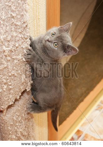 British Blue Kitten Climbs Up Scratching Post