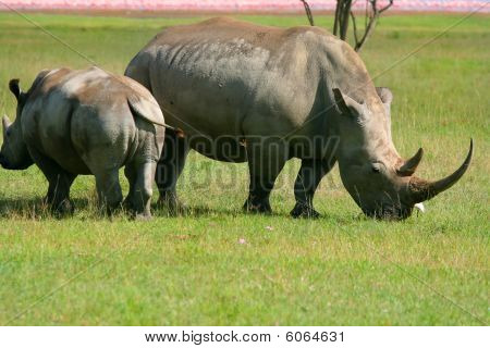 Rhinoceros In The Wild