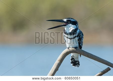 Male Pied Kingfisher Calling To A Friend