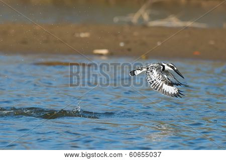 Pied Kingfisher In Flight After A Dive