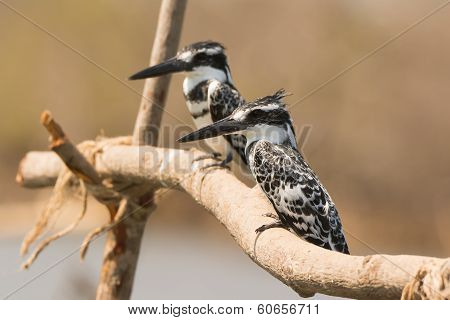 Two Pied Kingfishers Perched Together