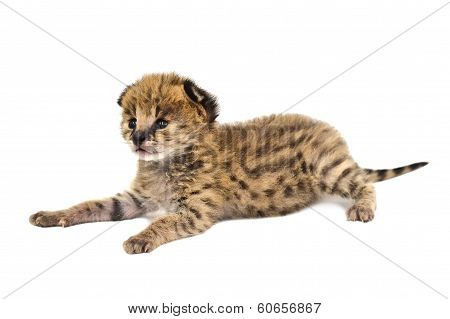 Baby Serval Isolated